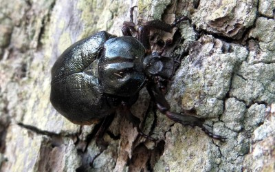 The rarest beetle, Osmoderma eremita Scopoli, from the Red Book of the Russian Federation was found, which means that the lane is especially valuable!