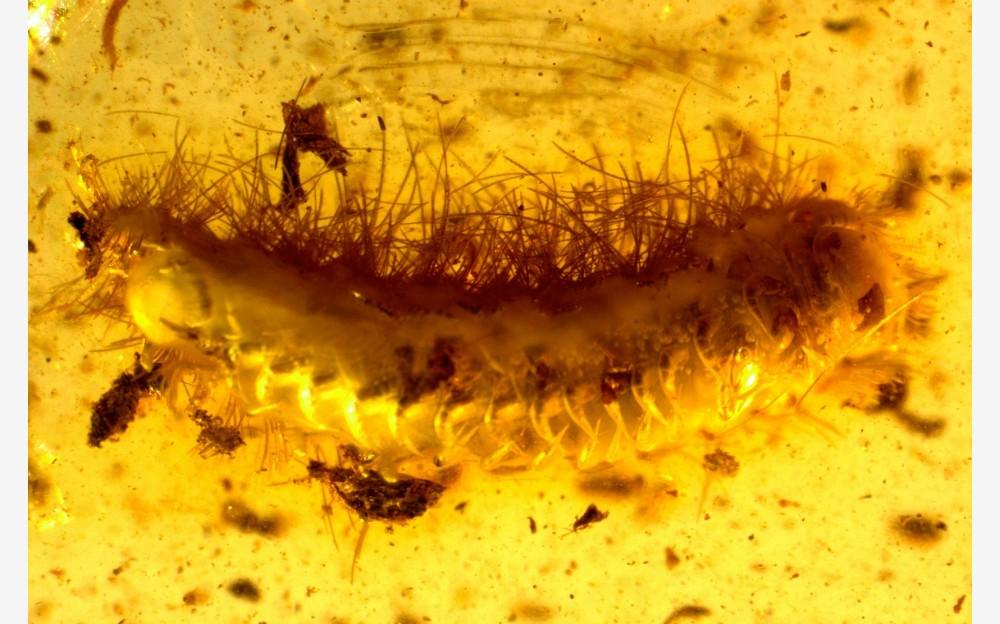 Рис. 9. Двупарноногие многоножки (Diplopoda, Polyxenida)