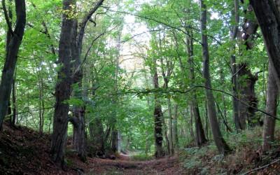 Деревья-ветераны в Суздальском (Стрелецком) лесу: дубы, ясени, грабы, каштаны.