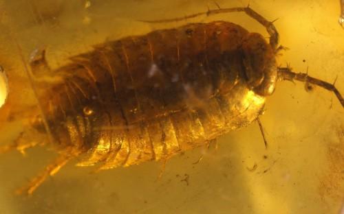Рис. 1. Мокрицы в янтаре (Isopoda, Oniscidea)