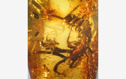 Рис. 15. Многоножки-костянки (Lithobiidae)