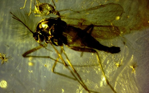 Рис. 90. Клещи из семейства Erythraeida, паразитирующие на длинноусыхдвукрылых насекомых (Diptera, Nematocera)