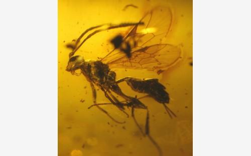 Рис. 66. Наездники рода Cryptinae (Hymenoptera, Ichneumonidae), вероятные паразиты яйцевых коконов пауков