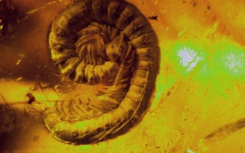 Рис. 5. Кивсяки (Julidae) в янтаре