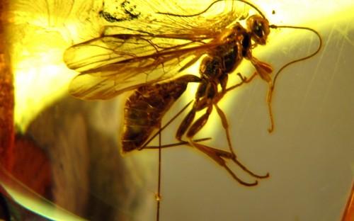 Рис. 65. Наездники рода Cryptinae (Hymenoptera, Ichneumonidae), вероятные паразиты яйцевых коконов пауков