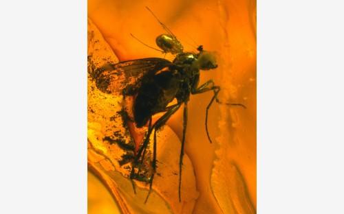 Рис. 88. Клещи из семейства Erythraeidae, паразитирующие на короткоусом двукрылом насекомом (Diptera, Nematocera, Dolichopodidae)