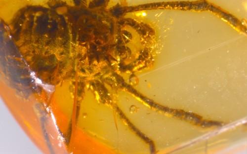 Рис. 95. Сенокосцы (Arachnida, Opiliones)
