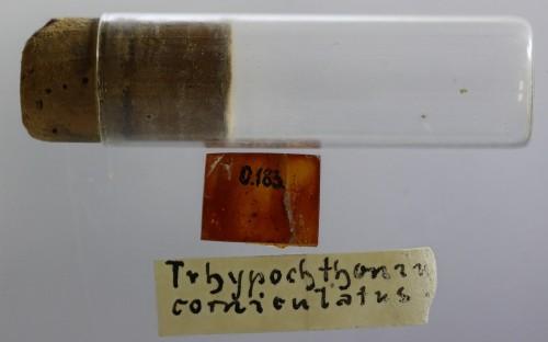 Рис. 74. Образец из коллекции Й. Фрича (хранится в Музее Мирового океана, инв. № 1155-316), голотип вида Trhypochthonius corniculatus Sellnick