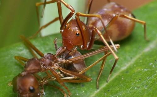 Рис. 24. Современный мирмекофильный паук, убивающий муравья
