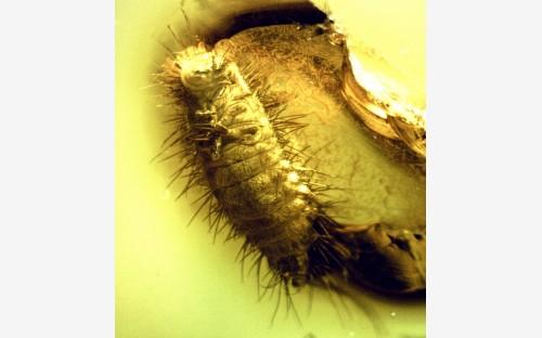 68. Личинка кожееда (Coleoptera, Dermestidae)