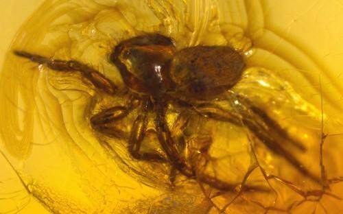 Рис. 38. Паук из семейства Oonopidae