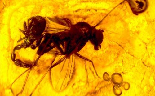 Рис. 111. Форезия, в качестве транспортного хозяина используется двукрылое насекомое (Diptera, Dolichopodidae)