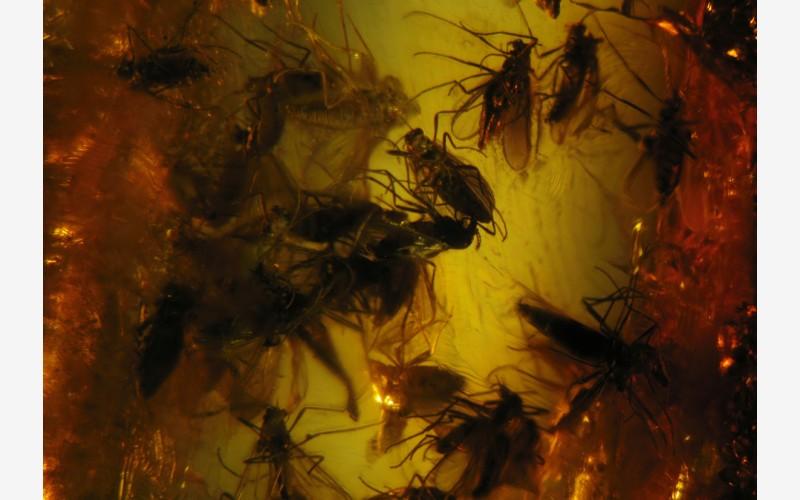 Роение комаров (Dip., Ceratapogonidae)